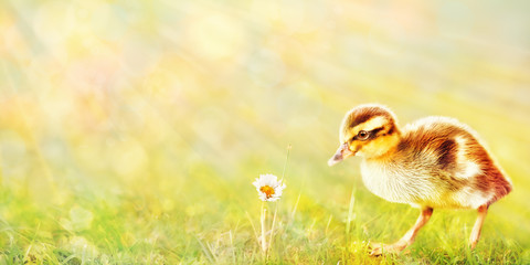 Duck Chick and Daisy