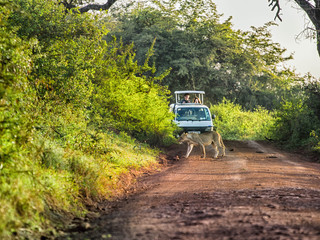Lion crossing a road in front of tourist in safari car