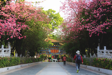 Way through blooming cherry trees in Chinese park