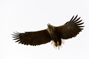 White-tailed Eagle (Haliaeetus albicilla) flying, Norway