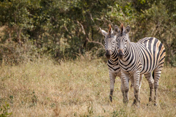 Two Zebras bonding in the grass.