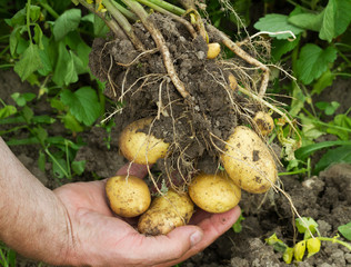 Potatoes in male hand.