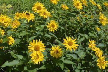 Printed kitchen splashbacks Sunflower Beautiful, tall flowers like yellow daisies