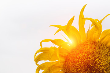 Close-up of sunflower with sun rays