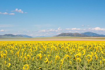field of blooming sunflowers on sky background