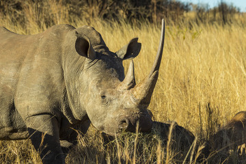 Rhino with large horn