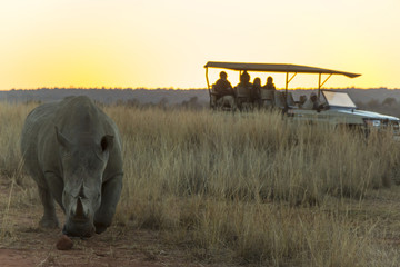 Rhino with a large horn at sunset