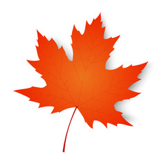 Autumn maple leaf isolated on a white background. Vector illustration