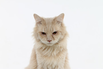 Potrait Close up of Cute Fluffy orange cat isolated white background