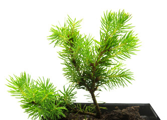 A small seedling of Canadian spruce conic in a pot isolated on white background. Coniferous tree, fir, evergreen