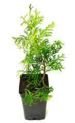 Thuja occidentalis Wagneri in a pot isolated on white background