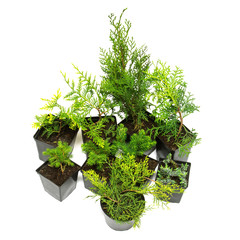 Coniferous mix with different juniper trees, thuja, cypress and Canadian fir conic isolated on white background. Christmas, new year. Evergreen plants. Flat lay, top view