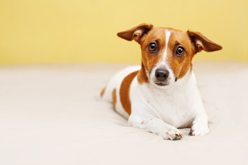Cute jack russell dog lying on bed and looking in camera.
