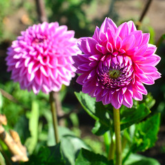 Bouquet of pink dahlias flowers in a garden on a flowerbed