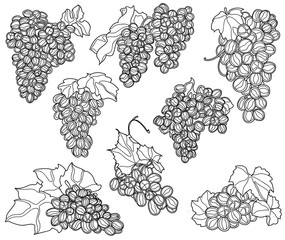 Vector different juicy bunches of grapes and a vine black and white graphics colorless