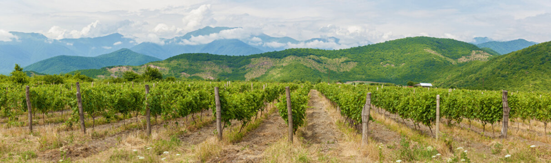 Vineyard in Alazani Valley, Georgia