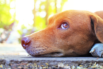Close up face of an adorable brown dog
