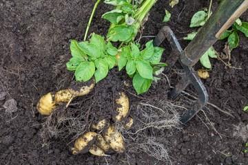 Potato harvesting by hand