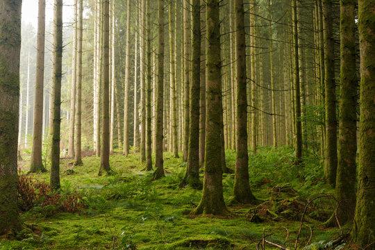 Forest pine trees sunrise