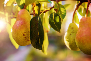 Close up photo of the ripe pear in the orchard