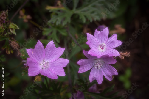 Fleur Sauvage Mauve Stock Photo And Royalty Free Images On
