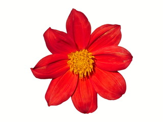 Dahlia Flower Red Isolated