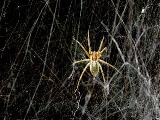 Spider and Spider's Web (Black Background)