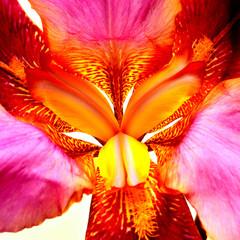 Beautiful iris flower close-up. Atmospheric photography. Tiger color