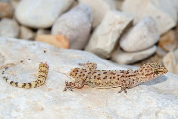 Rarely seen view of a lizard immediately after losing its tail - the beginning of tail regeneration in a Mediterranean Gecko