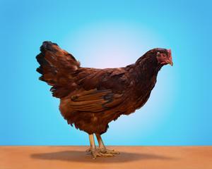 rhode island red chicken, on blue background, studio