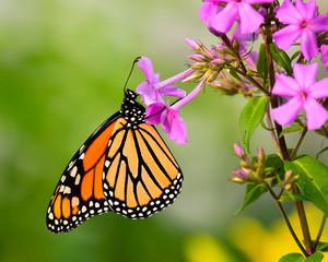 Monarch butterfly feeding on phlox flowers in garden