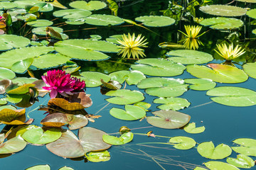 Colorful water lilies on still water