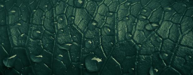 Dark green lotus leaf texture and rain drops on surface in Monsoon season
