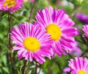 Beautiful flowers violet aster