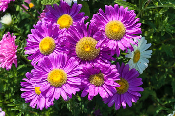 Beautiful flowers violet aster