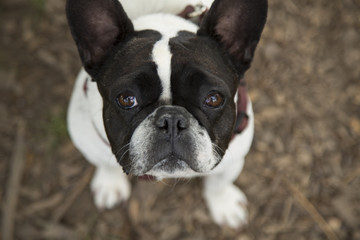 Overhead Close View of Sweet Black and White French Bulldog Looking Upward Against Brown Bark Covered Ground