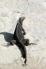 iguana lies on the beach white sand