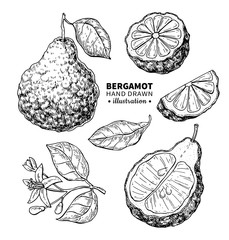 Bergamot vector drawing. Isolated vintage illustration of citrus fruit with slices. Organic food. Essential oil