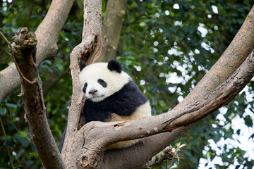 Baby Panda sleeping on the tree.