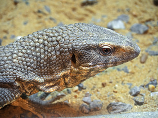 Head of Savannah Monitor on Stone with Sand Background