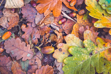 Walnuts and dry leaves on the ground