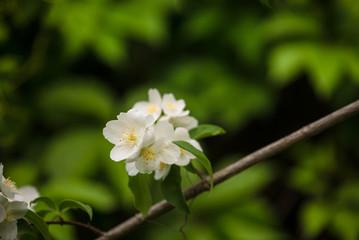 jasmine plant blooming