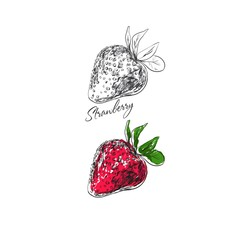 Strawberry. Vector hand drawn illustration. Fruits collection