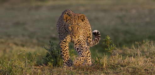Golden Light Leopard