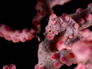 pygmy seahorse on the sea fan