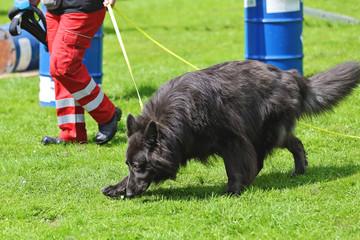 démonstration chien pisteur de secours sauvetage