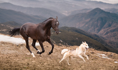 The dark brown horse run with the dog on the mountains background