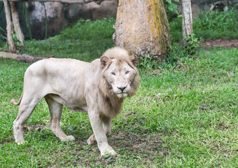 Male white lions walking relaxation in natural