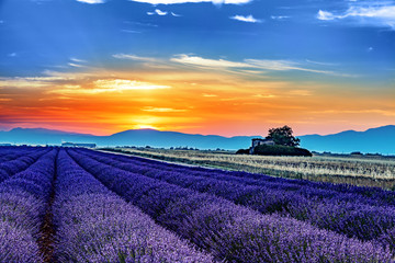 Sunrise over blooming lavender fields