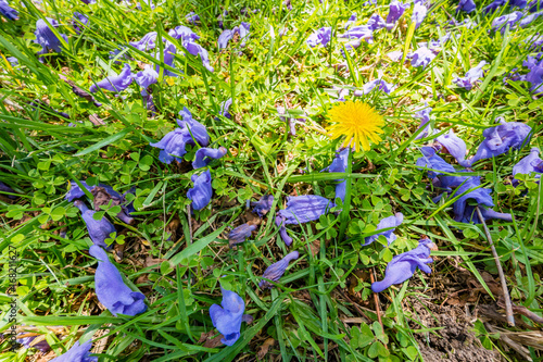 Jacaranda Tree And Bloom On Lawn With Tiny Yellow Flower Stock